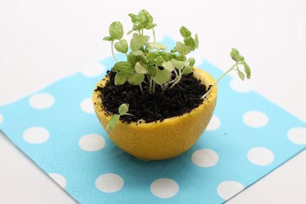 citrus-peel-seedling
