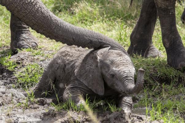 32 Cría Elefantes 2