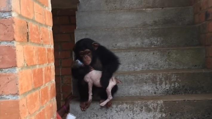 31 Cachorro Chimpancé 14