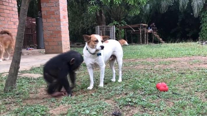 31 Cachorro Chimpancé 15