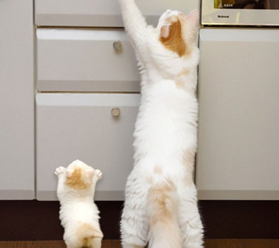 cat and kitten stretching up counter