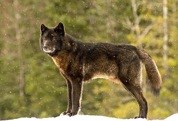 07 Lobo Comunidad Alaska 1