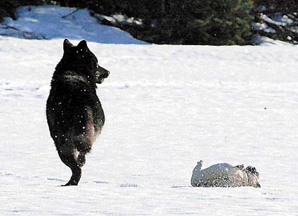 07 Lobo Comunidad Alaska 10