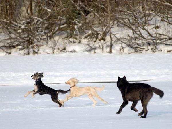 07 Lobo Comunidad Alaska 13