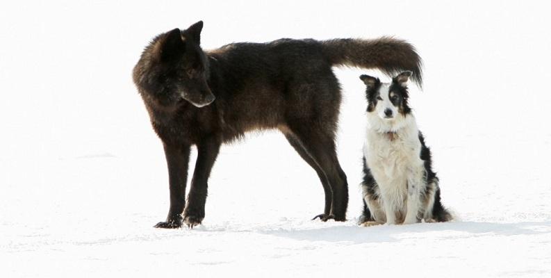 07 Lobo Comunidad Alaska 14