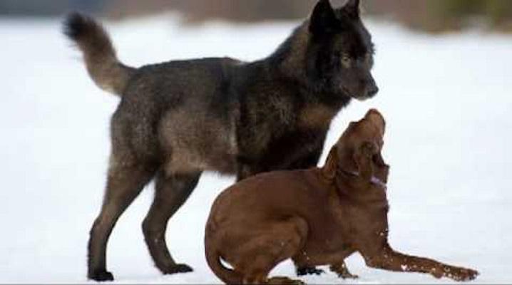 07 Lobo Comunidad Alaska 15