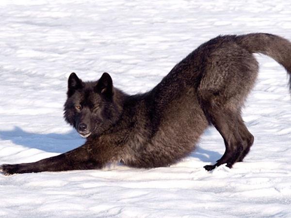 07 Lobo Comunidad Alaska 18