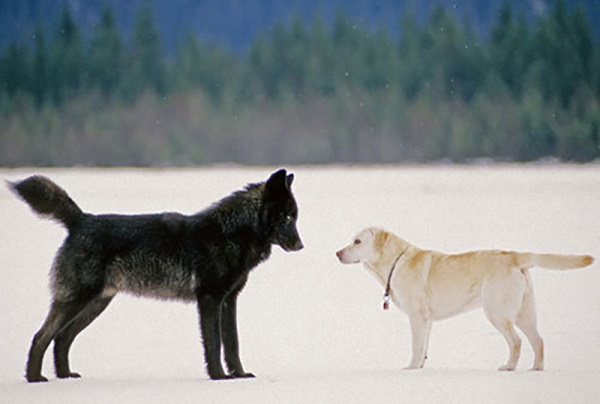 07 Lobo Comunidad Alaska 2
