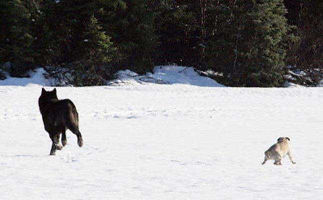 07 Lobo Comunidad Alaska 3