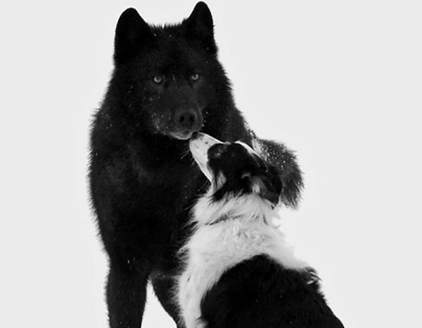 07 Lobo Comunidad Alaska 5