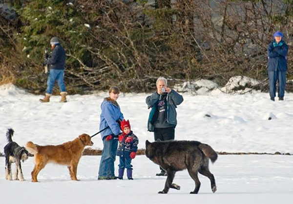 07 Lobo Comunidad Alaska 7