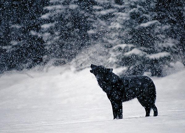 07 Lobo Comunidad Alaska 8