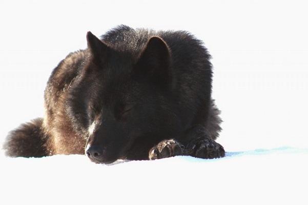07 Lobo Comunidad Alaska 9