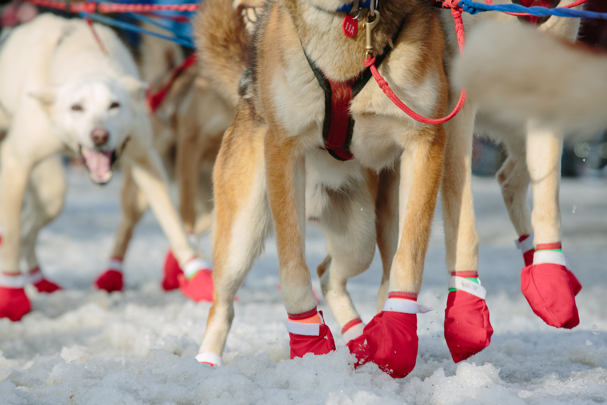 Iditarog sled dogs' paws are protected by fabric dog
