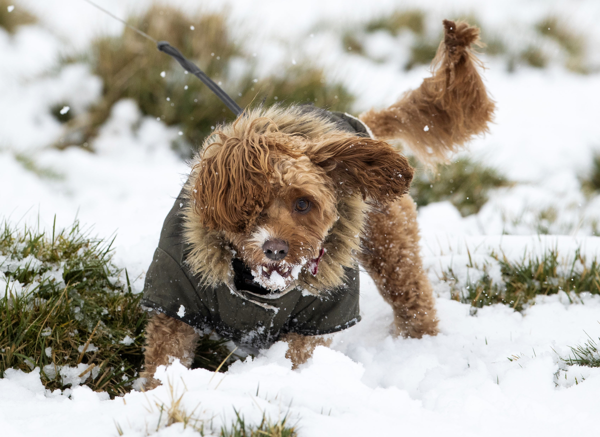 Windle the dog plays in snow.