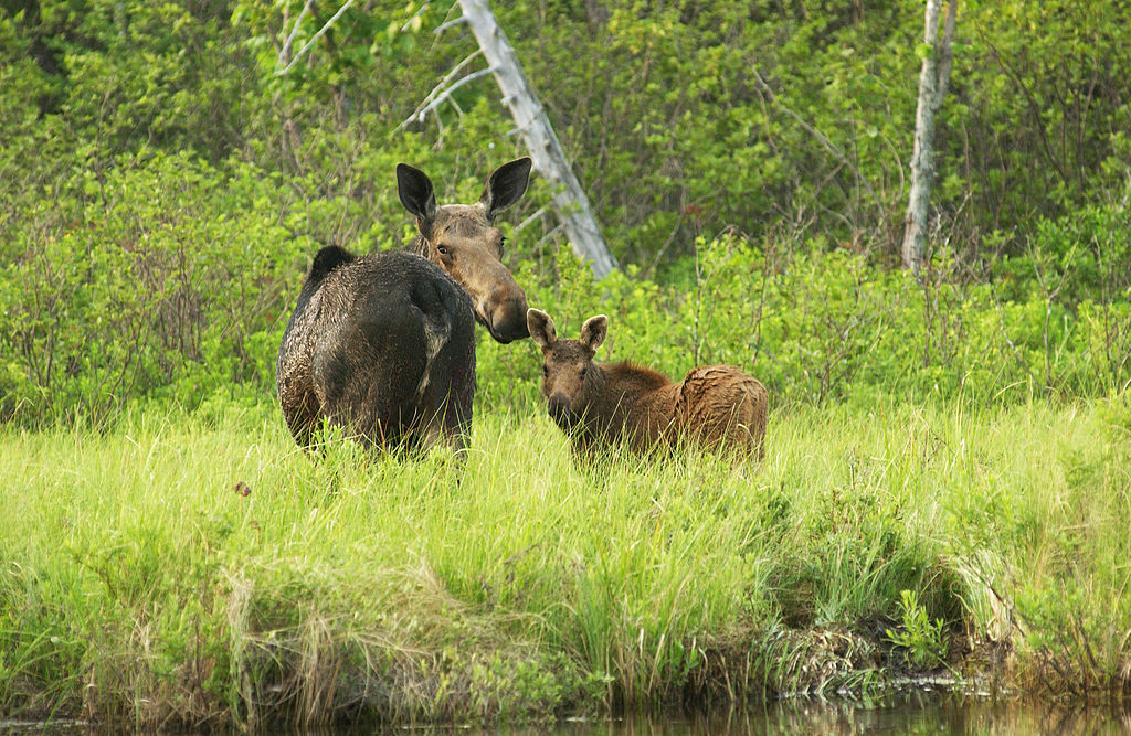 A gorwn moose and her calf are photographed in nature.