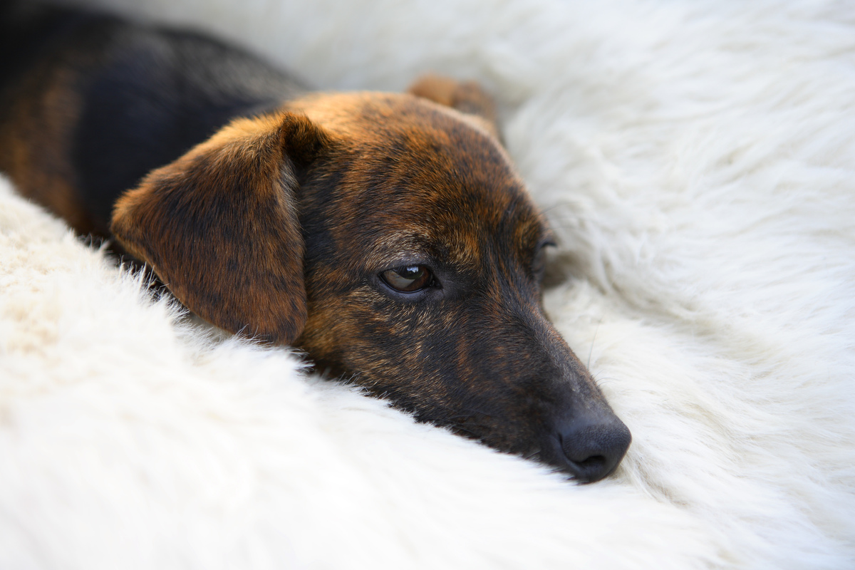 Black and tan Jack Russell terrier pedigree puppy is lying in his bed.