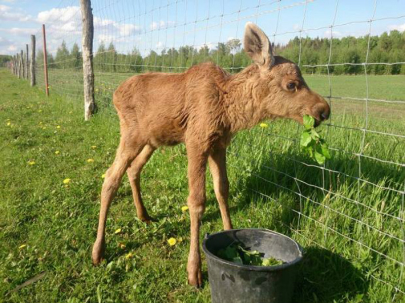 A baby moose eats leaves from a bucket.