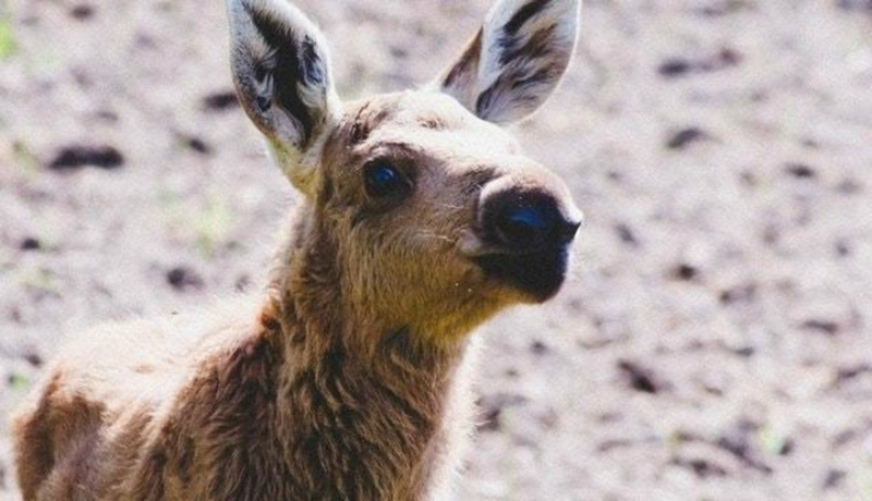 A baby moose looks up at someone.