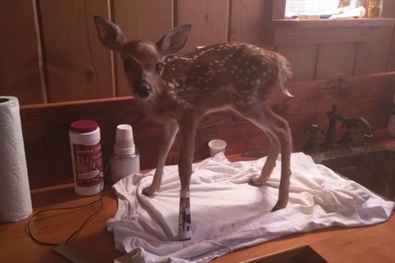 A fawn stands on a kitchen counter wearing a splint.