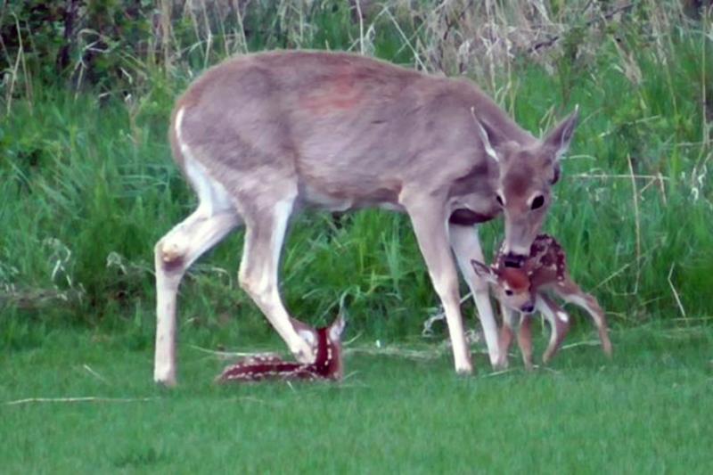 A deer licks her fawn.