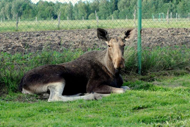 grown-moose