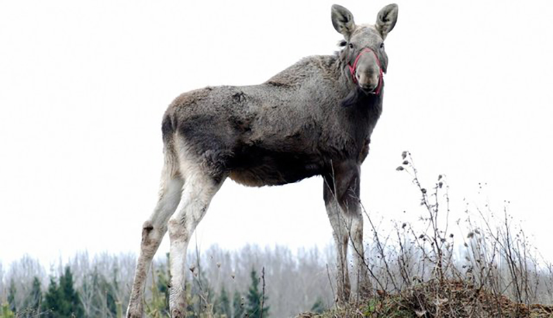 moose-standing-tall
