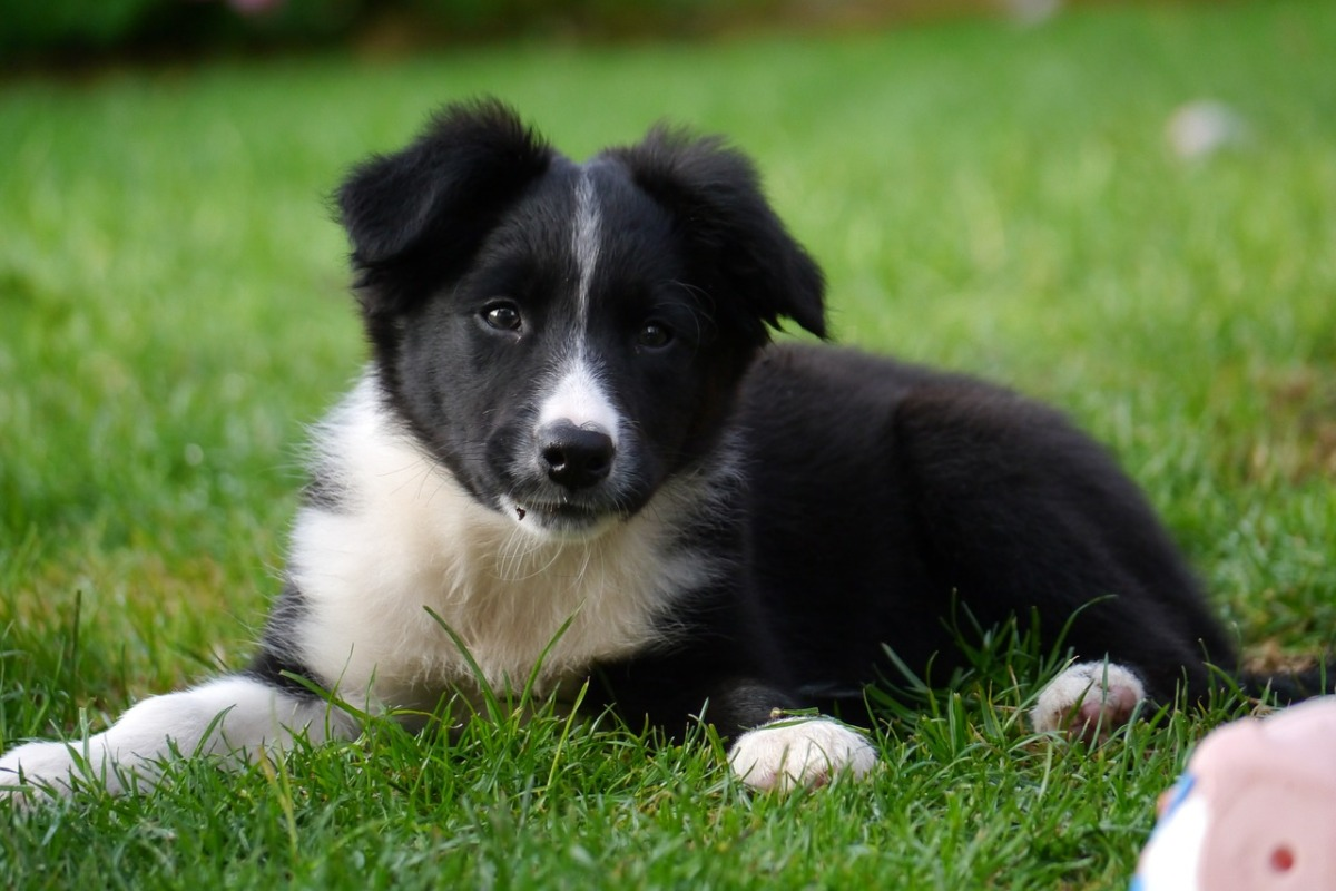 pzd-border-collie