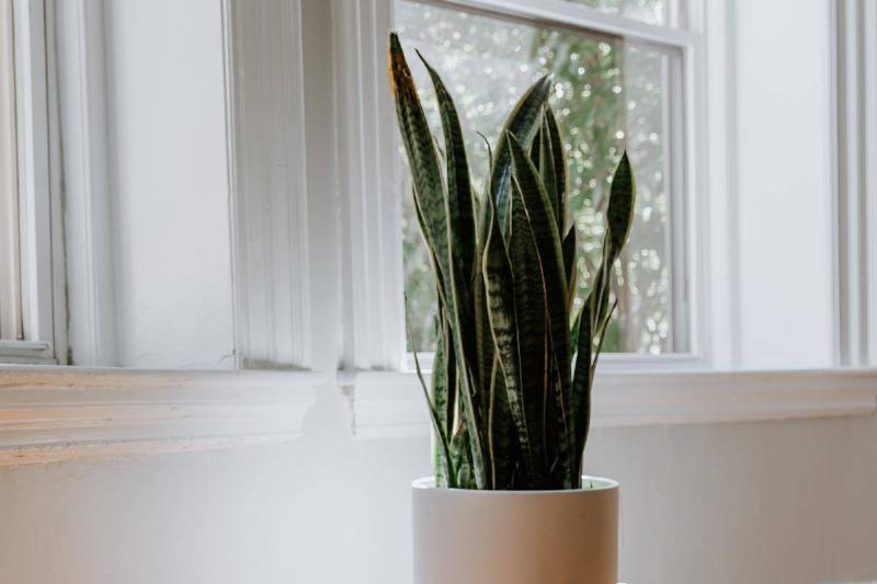 pnu-snake-plant-by-a-window