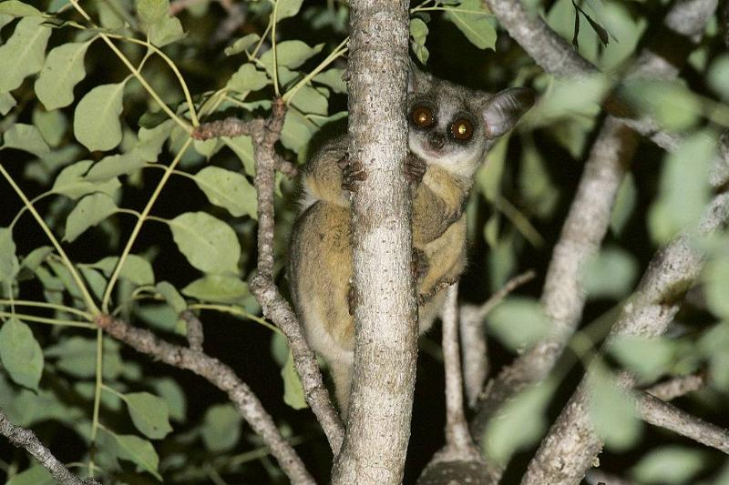 a galago in a tree at night