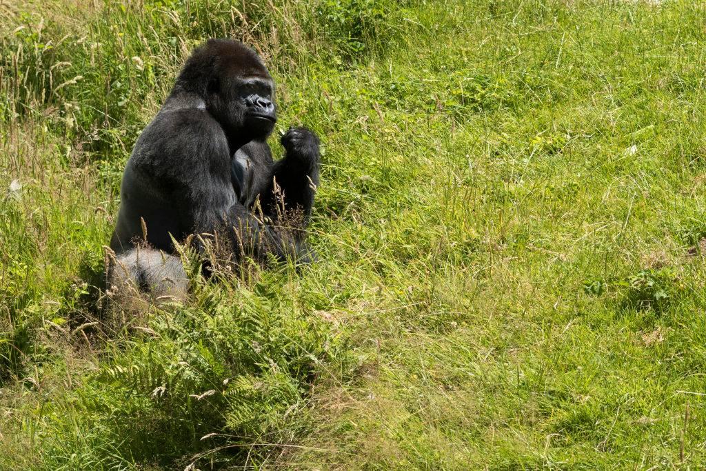 a gorilla sitting on the grass