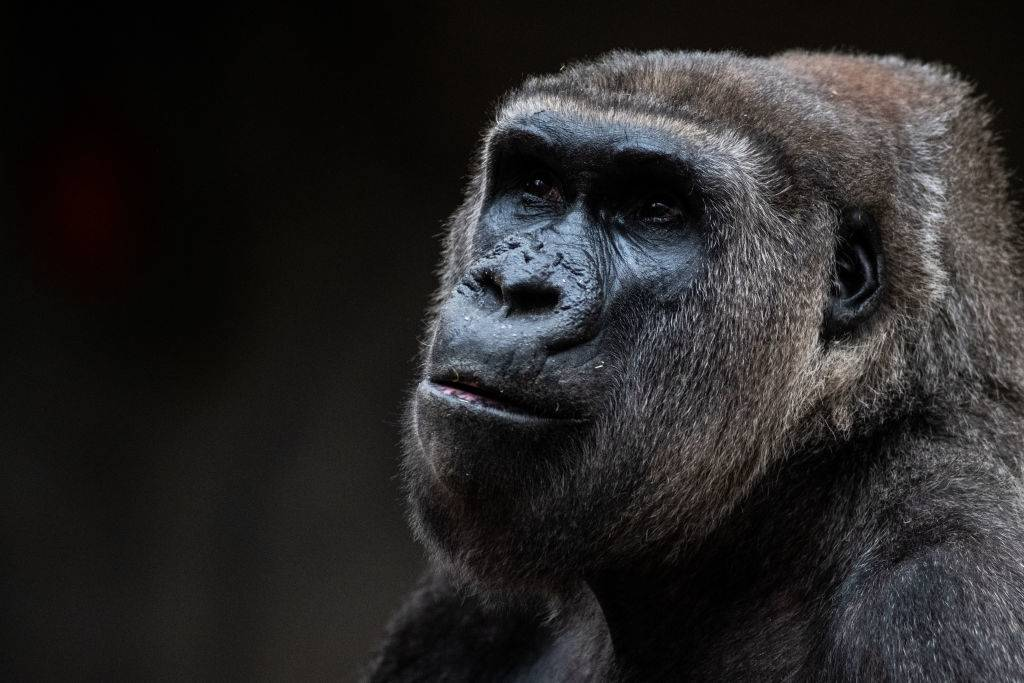 a gorilla looking off to the side in a photo