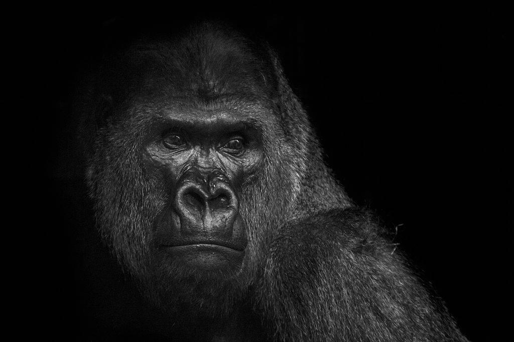 a portrait of a gorilla
