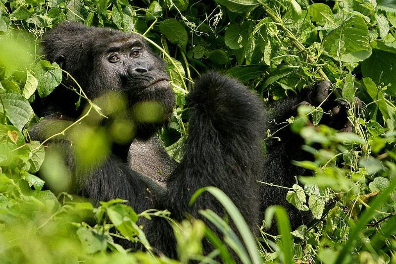 a gorilla sitting in the leaves