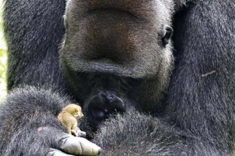 a gorilla holding a bush baby