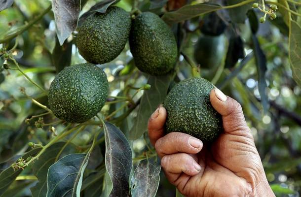 A farmer works at an avocado plantation in El Carmen ranch in the community of Tochimilco, Puebla State, Mexico, on April 5, 2019