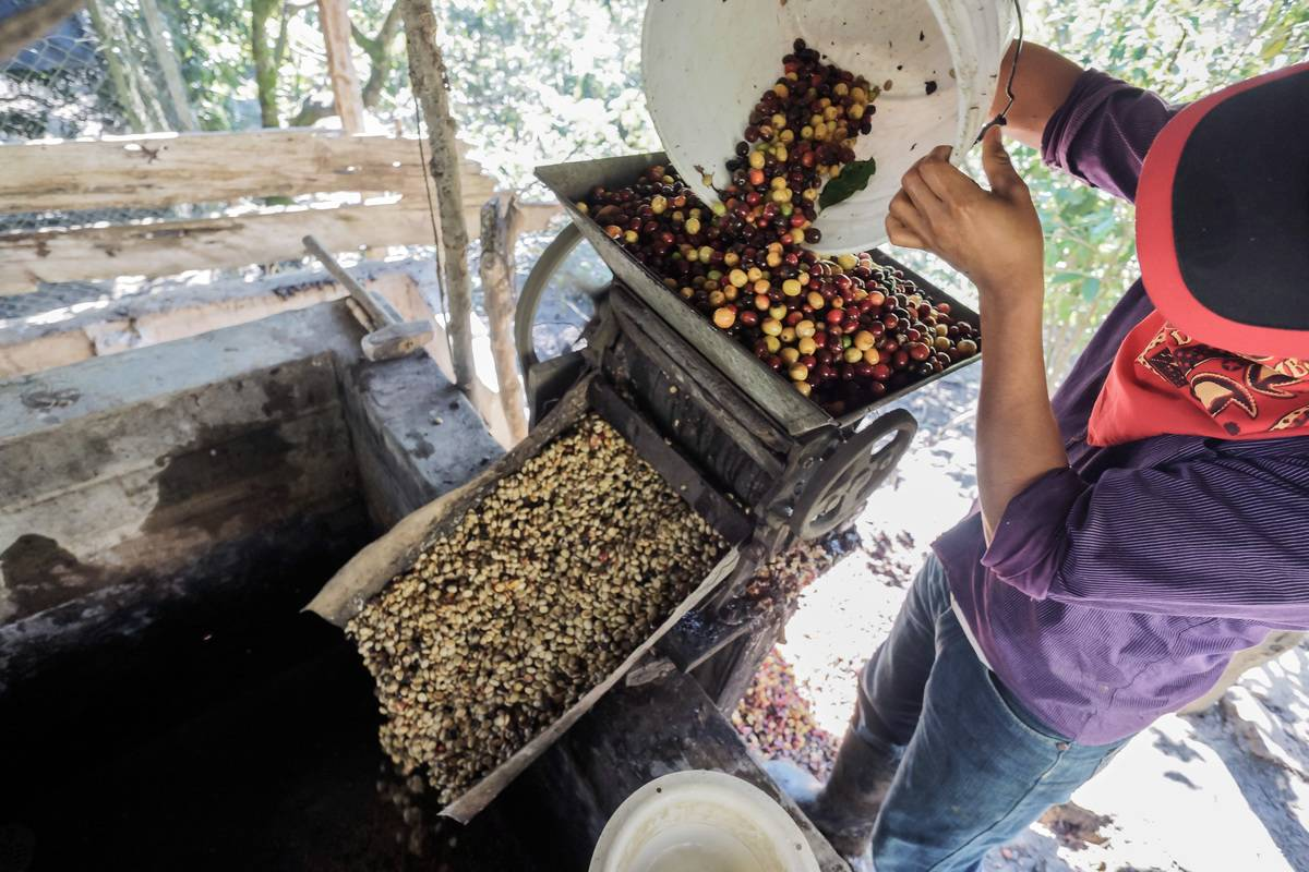 Members of the Zapatista Army of National Liberation harvest and process homegrown and organic coffee to sell