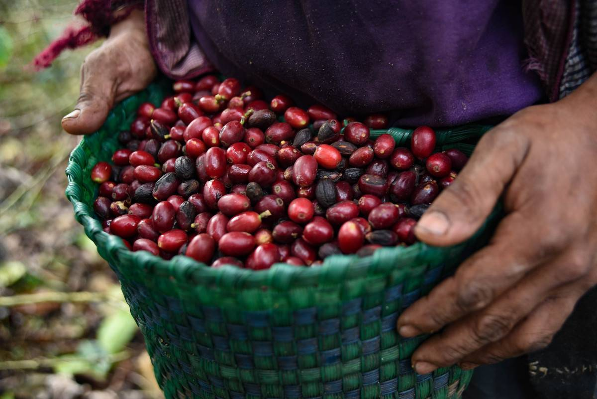 A worker carries a bucket of coffee cherries during a harvest at a ranch in Teocelo, Veracruz state, Mexico, on Friday, Jan. 29, 2021