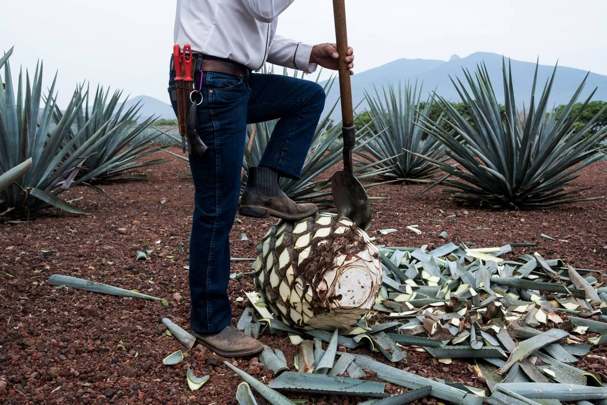 A Jimador, agave field worker, uses a coa de jima tool to cut the leaves off a blue agave during harvesting at the Becle SAB Jose Cuervo farm in the town of Tequila, Jalisco state, Mexico, on Thursday, May 3, 2018