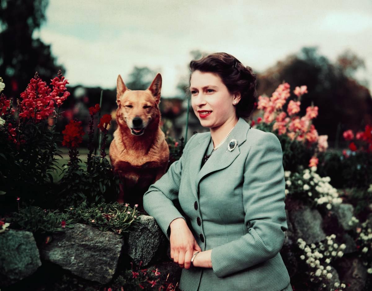 Queen Elizabeth II of England at Balmoral Castle with one of her Corgis, 28th September 1952. UPI color slide.