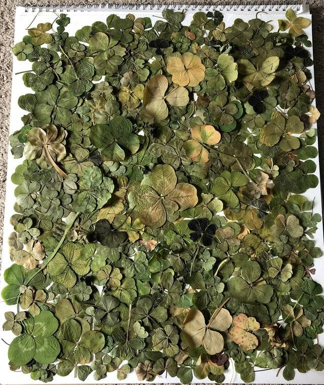 Collection of 4 Leaf Clovers - 200+