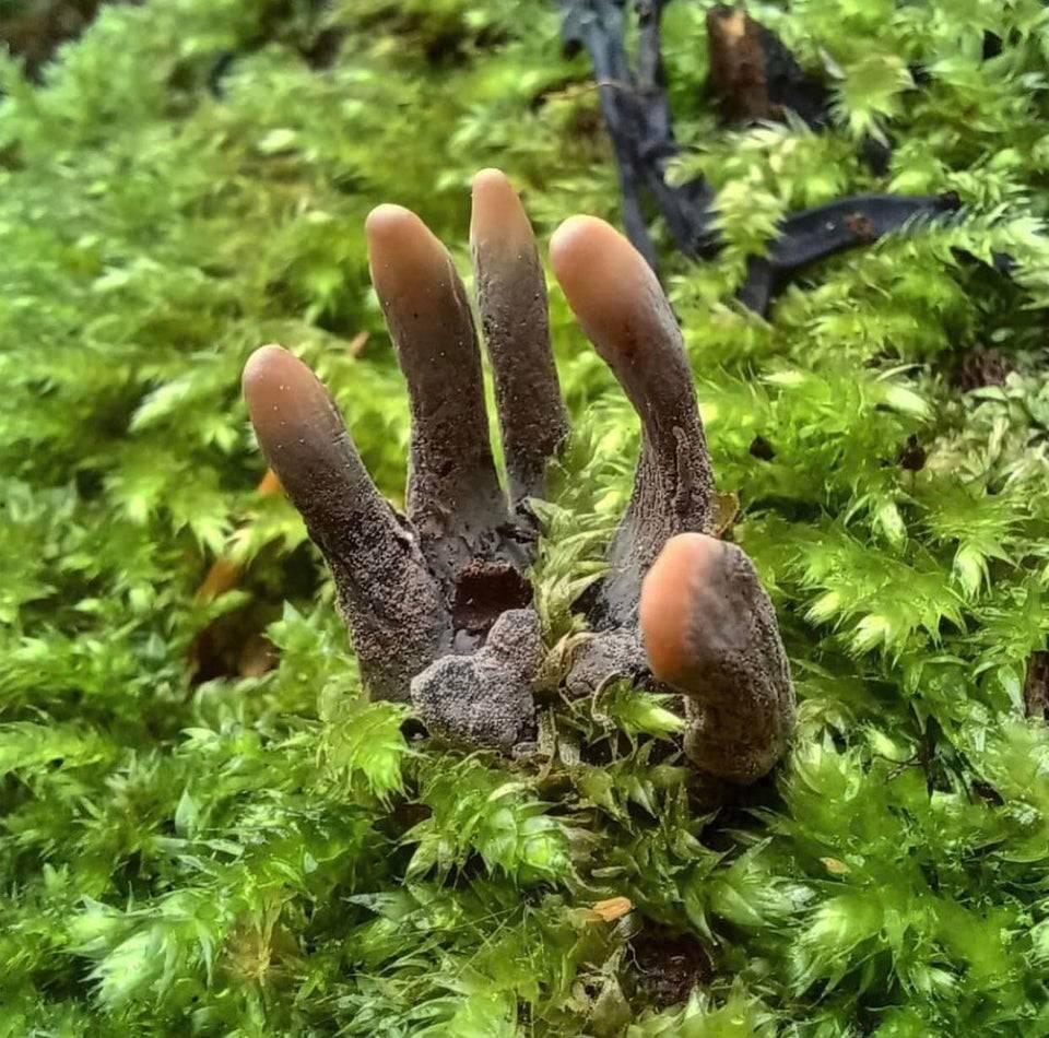 Fungus on forest floor looks like dead human hand
