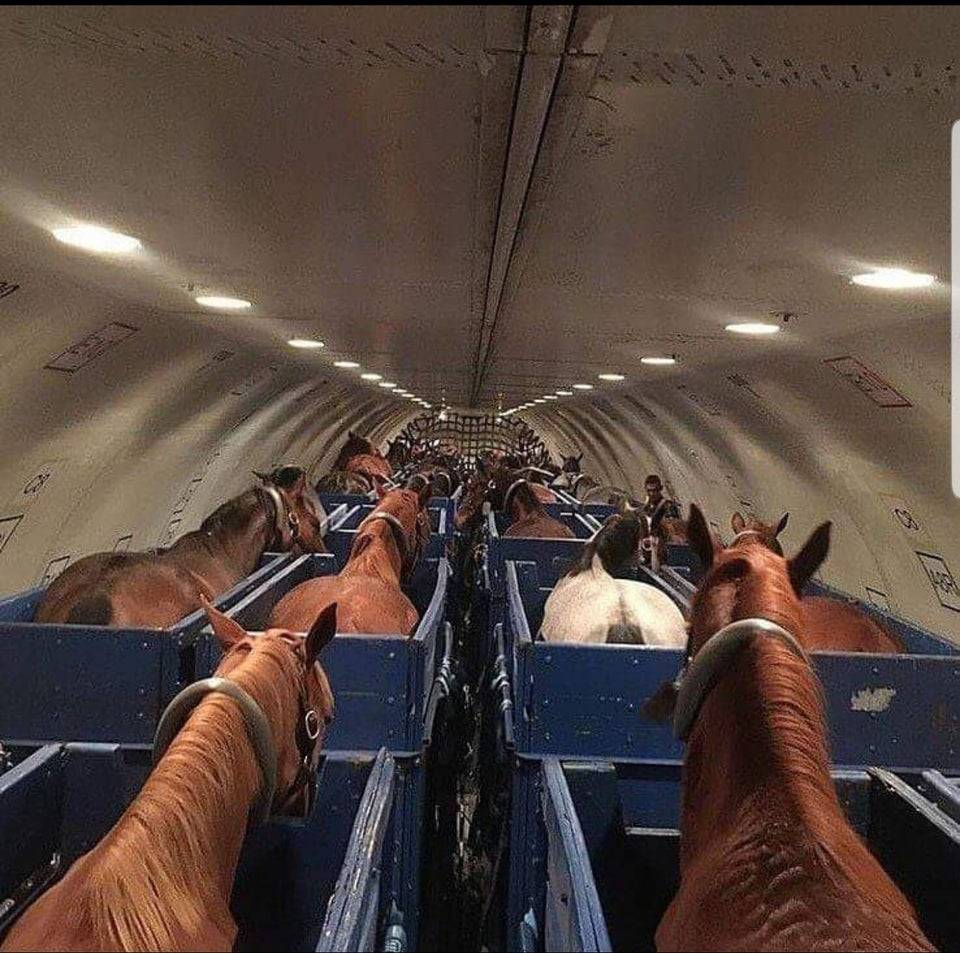 Horses stand in stalls on a cargo plane for transport