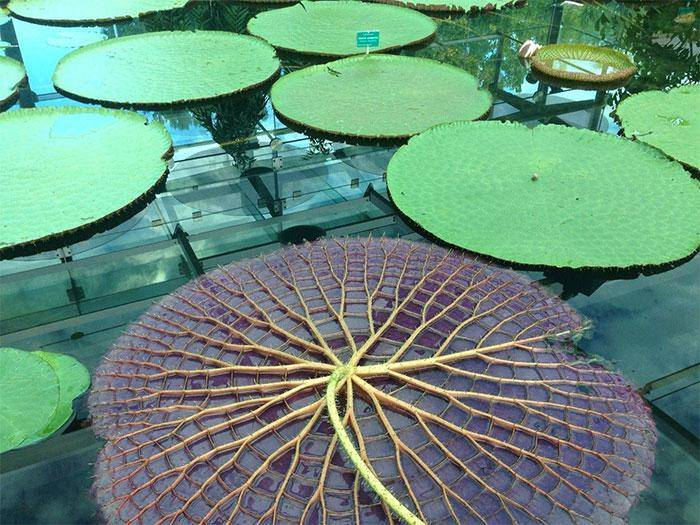 Underside image of a giant water lily looks like a web