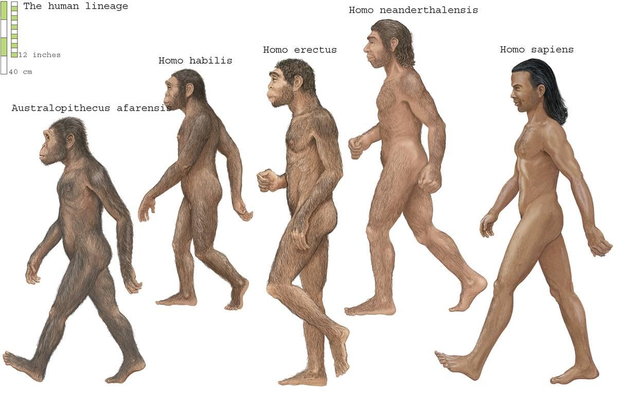 A diagram shows several species of ancient humans.