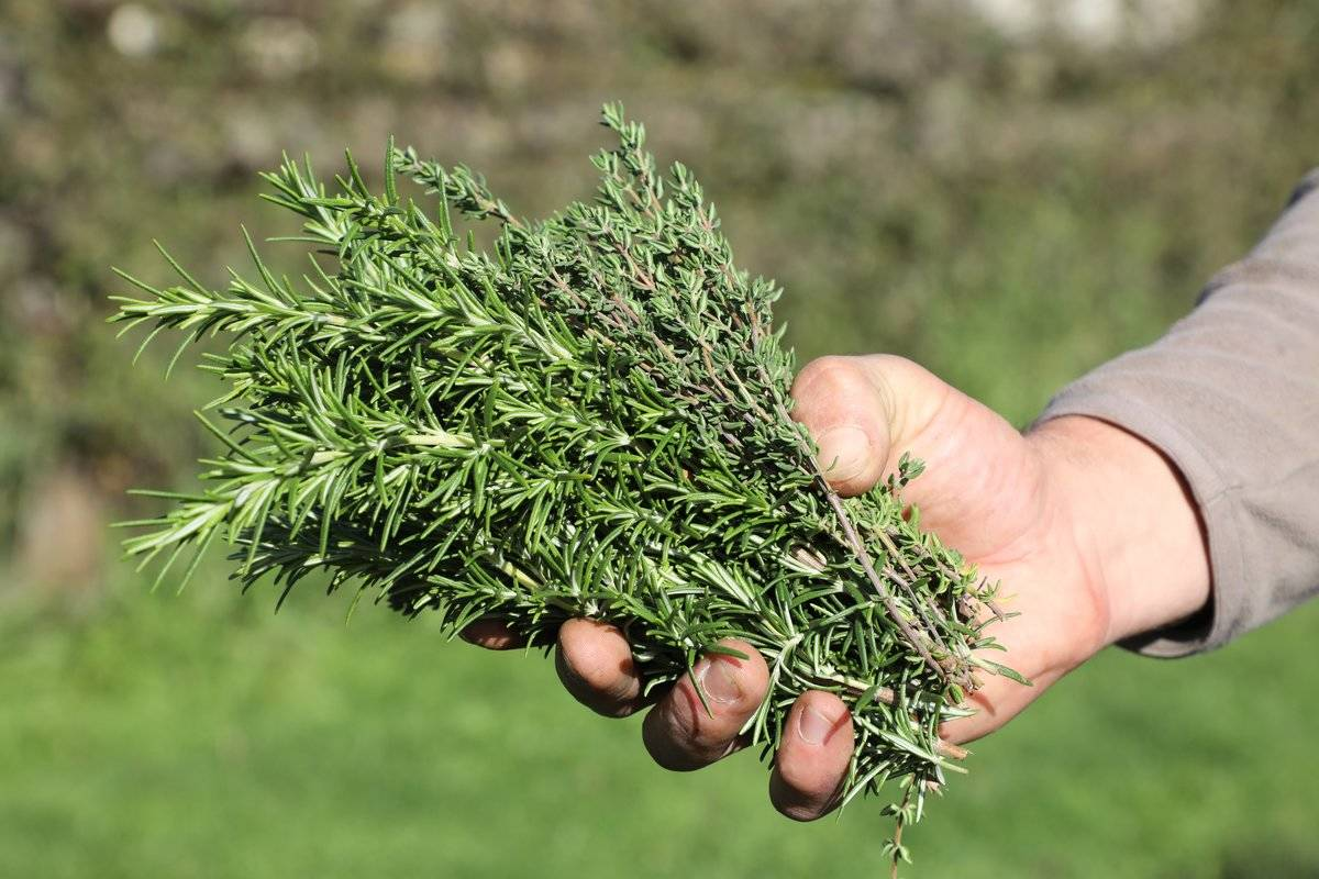 a gardener displays thyme and rosemary aromatic plants at the royal kitchen garden in Versailles, on October 20, 2017