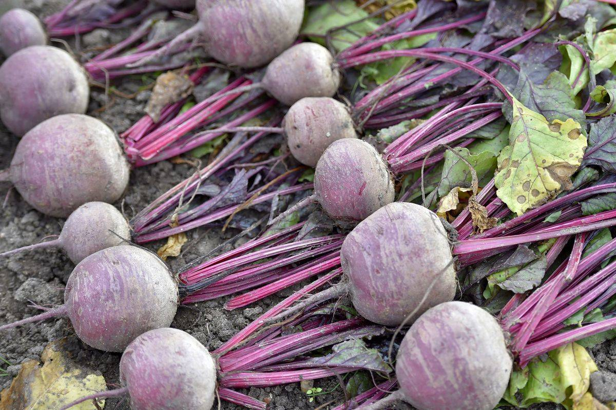 A picture taken on September 29, 2017 shows beets at the Varieties Study Sector (Secteur d'Etude des Varietes - SEV) of the Group of Study and control of varieties and seeds (Groupe d'Etude et de controle des Varietes Et des Semences - Geves) in Brion, western France.